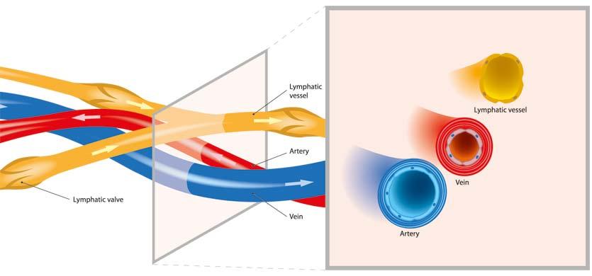 Arterias, venas y sistema linfático, presoterapia